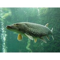 Где лучше ловить щуку и другую хищную рыбу?
